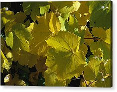 California Wild Grape Leaves Vitis Acrylic Print by Marc Moritsch