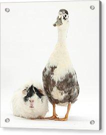 Call Duck And Guinea Pig Acrylic Print