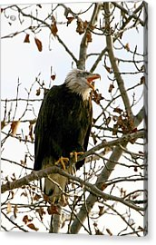 Call Of The Wild 2 Acrylic Print by Carrie OBrien Sibley