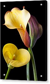 Calla Lilies Still Life Acrylic Print by Garry Gay