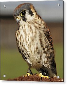 Callie American Kestrel Acrylic Print by Barbara Middleton