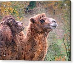 Acrylic Print featuring the photograph Calm Camels by Wendy McKennon