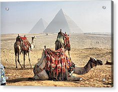 Camel And Pyramids, Caro, Egypt. Acrylic Print by Oudi
