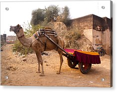 Camel Yoked To A Decorated Cart Meant For Carrying Passengers In India Acrylic Print by Ashish Agarwal