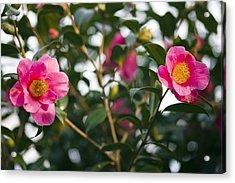 Camellia Flower (camelia Japonica) Acrylic Print by Dr Keith Wheeler
