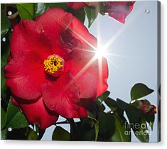 Camellia Flower Acrylic Print by Mats Silvan