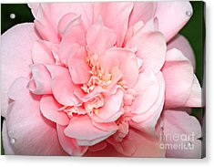 Camellia Acrylic Print by Louise Heusinkveld