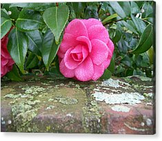 Camellia On Wall Acrylic Print by Larry Bishop