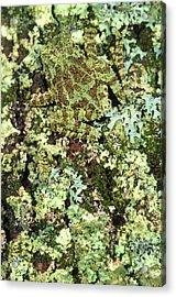 Camouflaged Vietnamese Mossy Tree Frog Acrylic Print by John Pitcher