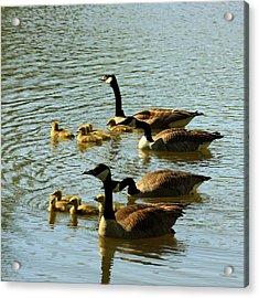 Canada Geese Families Acrylic Print by Mark Codington