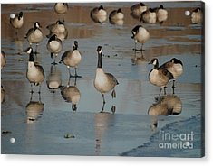 Acrylic Print featuring the photograph Canada Geese by Mark McReynolds