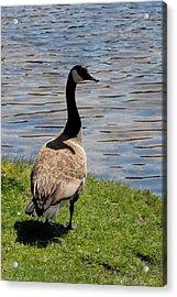 Canada Goose 153 Acrylic Print by Joyce StJames
