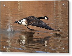 Canada Goose Above Pond - C0174d Acrylic Print by Paul Lyndon Phillips