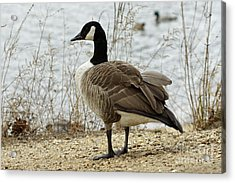 Canada Goose Acrylic Print by Denise Pohl