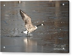 Acrylic Print featuring the photograph Canada Goose Taking Off by Mark McReynolds