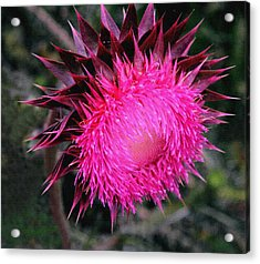 Acrylic Print featuring the photograph Canada Thistle by Robert Kernodle