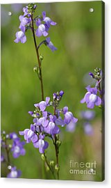 Canada Toadflax Acrylic Print by Don Youngclaus