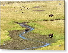 Canadian Geese And Bison, Yellowstone Acrylic Print by Brian Bruner