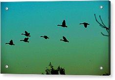 Canadian Geese In Flight Acrylic Print by David Killian