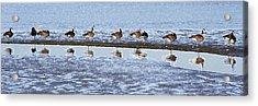 Canadian Geese Line Up Acrylic Print by Mary Gaines