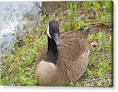 Canadian Goose Resting Acrylic Print