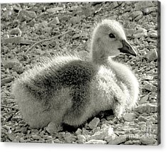 Canadian Gosling Acrylic Print by Janeen Wassink Searles