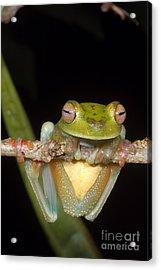 Canal Zone Tree Frog Acrylic Print by Dante Fenolio
