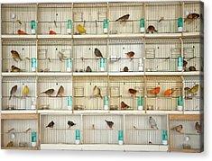 Canary Birds Acrylic Print by Carlo A
