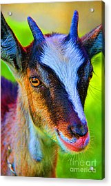 Candy Goat Acrylic Print by Mariola Bitner