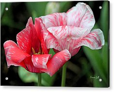 Candy Stripers Acrylic Print by Suzanne Gaff