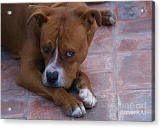 Acrylic Print featuring the photograph Canelo With His Look by John  Kolenberg