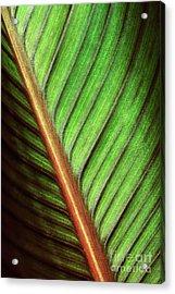 Canna Leaf Acrylic Print by Neil Overy