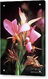 Canna Lily 'erebus' Acrylic Print by Adrian Thomas