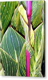 Canna Lily Foliage Acrylic Print by Dr Keith Wheeler