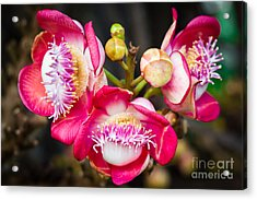 Cannonball Tree In Bloom  Acrylic Print by Melle Varoy