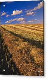 Canola Field, Tiger Hills, Manitoba Acrylic Print by Dave Reede
