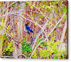 Acrylic Print featuring the photograph Canyon Jay Too by Clarice  Lakota