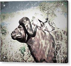 Cape Buffalo Acrylic Print by Arne Hansen