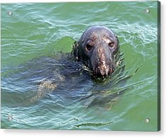 Cape Cod Harbor Seal Acrylic Print by Juergen Roth