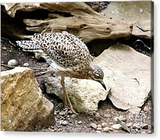 Cape Thick Knee Acrylic Print
