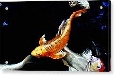 Captain Koi Acrylic Print by Don Mann