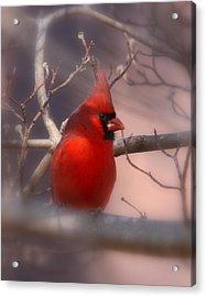 Cardinal - Unafraid Acrylic Print by Travis Truelove