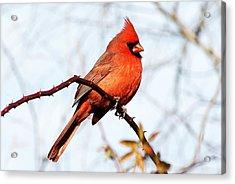 Cardinal 1 Acrylic Print by Joe Faherty