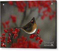 Cardinal Among The Berries Acrylic Print