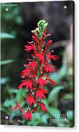 Cardinal Flower Acrylic Print