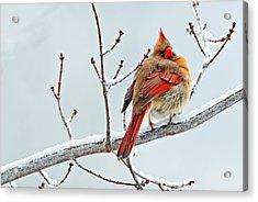 Cardinal I The Snow  Acrylic Print