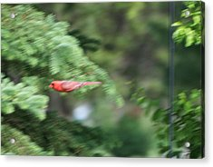 Acrylic Print featuring the photograph Cardinal In Flight by Thomas Woolworth