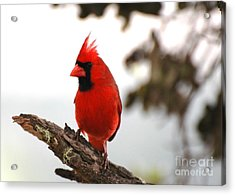 Cardinal In Hawaii Acrylic Print by Johanne Peale