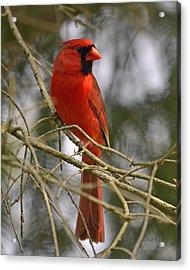 Cardinal In Spruce Acrylic Print