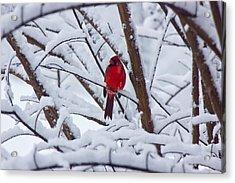 Cardinal In The Snow 2 Acrylic Print by Barry Jones